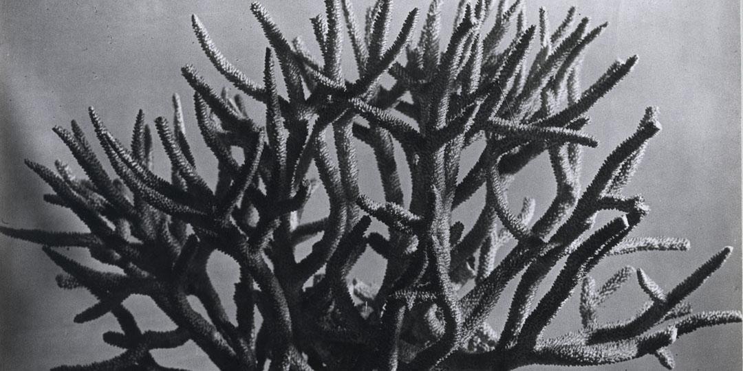Madrépores, Halasz Gyula, Brassaï (dit), Paris, Centre Pompidou - Musée national d'art moderne - CCI