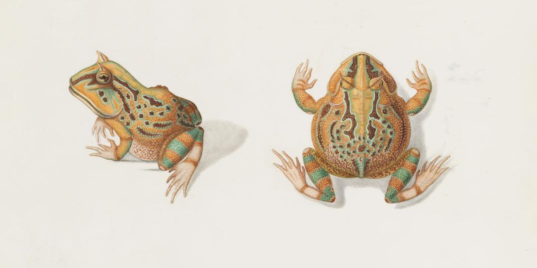 Ceratophrys, Juliette Alberti, Paris, Muséum national d'Histoire naturelle (MNHN), bibliothèque centrale
