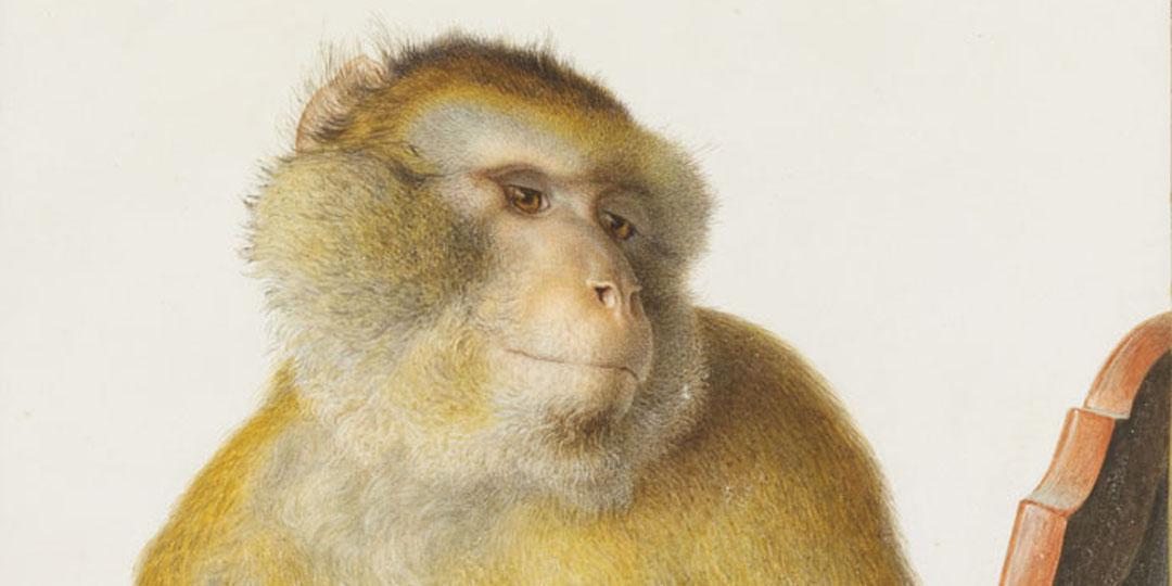 Macaque (détail), Louis Maréchal, Paris, Muséum national d'Histoire naturelle (MNHN), bibliothèque centrale