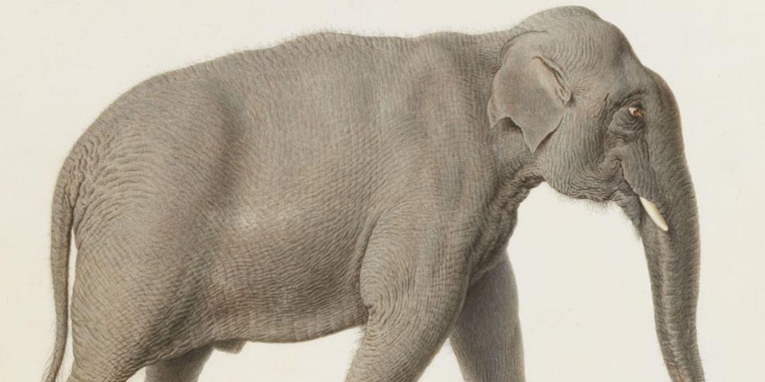 Eléphant d'Asie, Nicolas Maréchal, Paris, Muséum national d'Histoire naturelle (MNHN), bibliothèque centrale