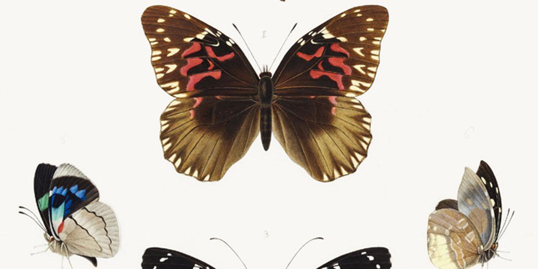 Papillons Heliconius et Leptalis, Emile-Théophile Blanchard, Paris, Muséum national d'Histoire naturelle (MNHN), bibliothèque centrale